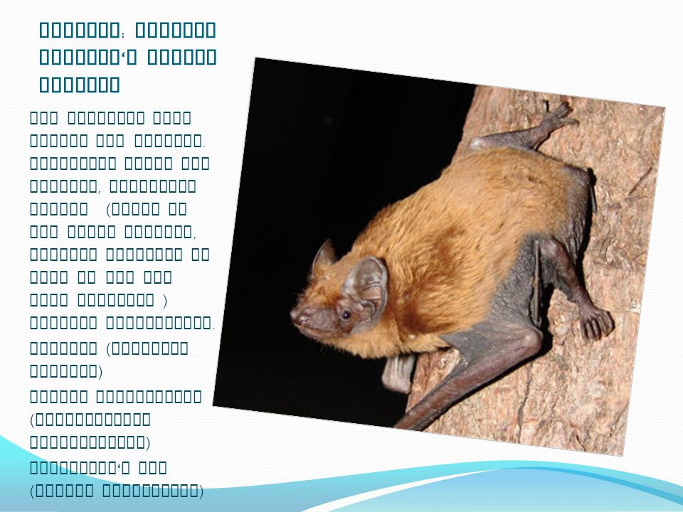Ecology : Meeting Dracula ' s little Cousins All European bats forage for insects.