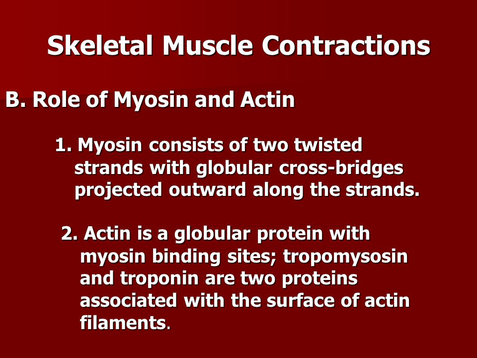 Skeletal Muscle Contractions B. Role of Myosin and Actin 1. Myosin consists of two twisted strands with globular cross-bridges projected outward along
