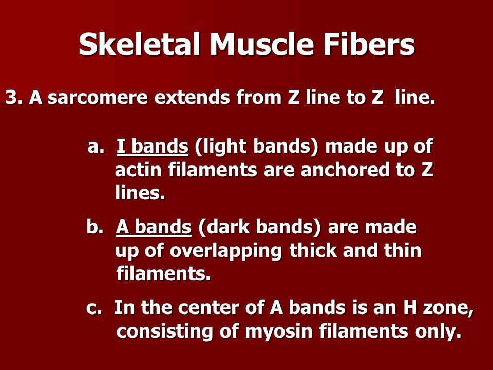 3. A sarcomere extends from Z line to Z line. a. I bands (light bands) made up of actin filaments are anchored to Z lines. a. I bands (light bands) ma
