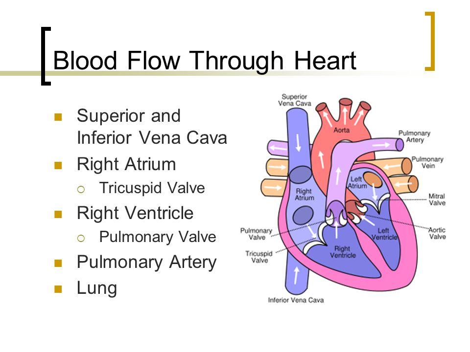 Blood Flow Through Heart Superior and Inferior Vena Cava Right Atrium  Tricuspid Valve Right Ventricle  Pulmonary Valve Pulmonary Artery Lung