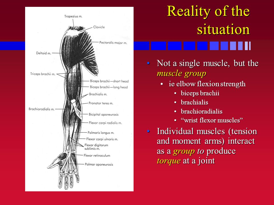Reality of the situation Not a single muscle, but the muscle groupNot a single muscle, but the muscle group ie elbow flexion strengthie elbow flexion strength biceps brachiibiceps brachii brachialisbrachialis brachioradialisbrachioradialis wrist flexor muscles wrist flexor muscles Individual muscles (tension and moment arms) interact as a group to produce torque at a jointIndividual muscles (tension and moment arms) interact as a group to produce torque at a joint