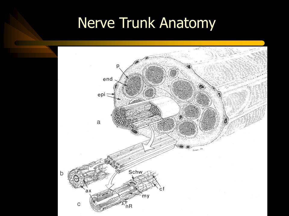 Nerve Trunk Anatomy