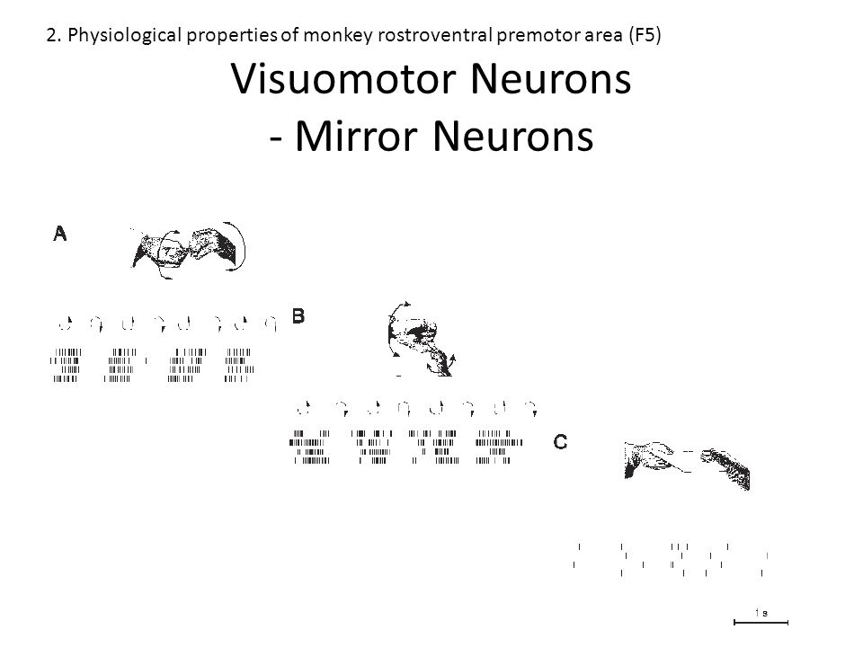 The motor information plays a role in the recognition process A mirror-like representation can be developed autonomously on the basis of the interaction between an individual and the environment 7.
