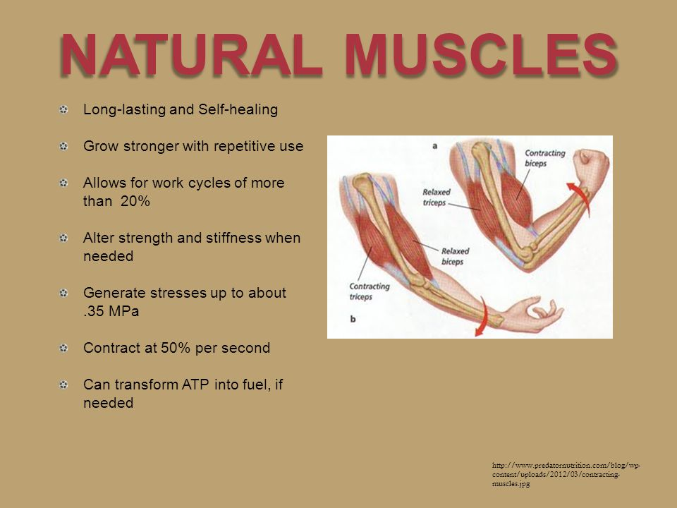NATURAL MUSCLES Long-lasting and Self-healing Grow stronger with repetitive use Allows for work cycles of more than 20% Alter strength and stiffness when needed Generate stresses up to about.35 MPa Contract at 50% per second Can transform ATP into fuel, if needed http://www.predatornutrition.com/blog/wp- content/uploads/2012/03/contracting- muscles.jpg