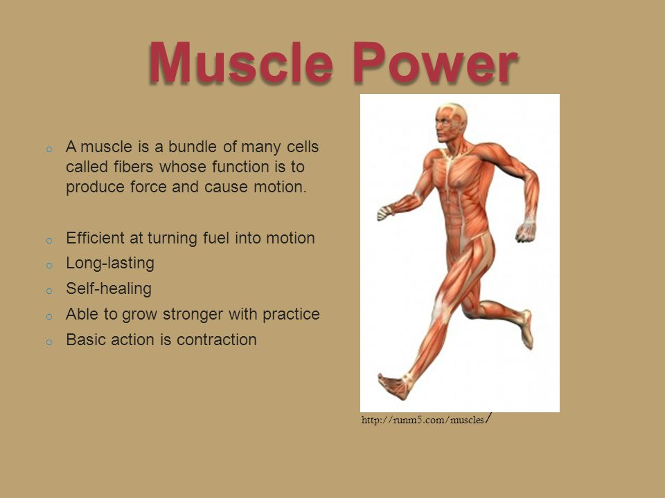 o A muscle is a bundle of many cells called fibers whose function is to produce force and cause motion.