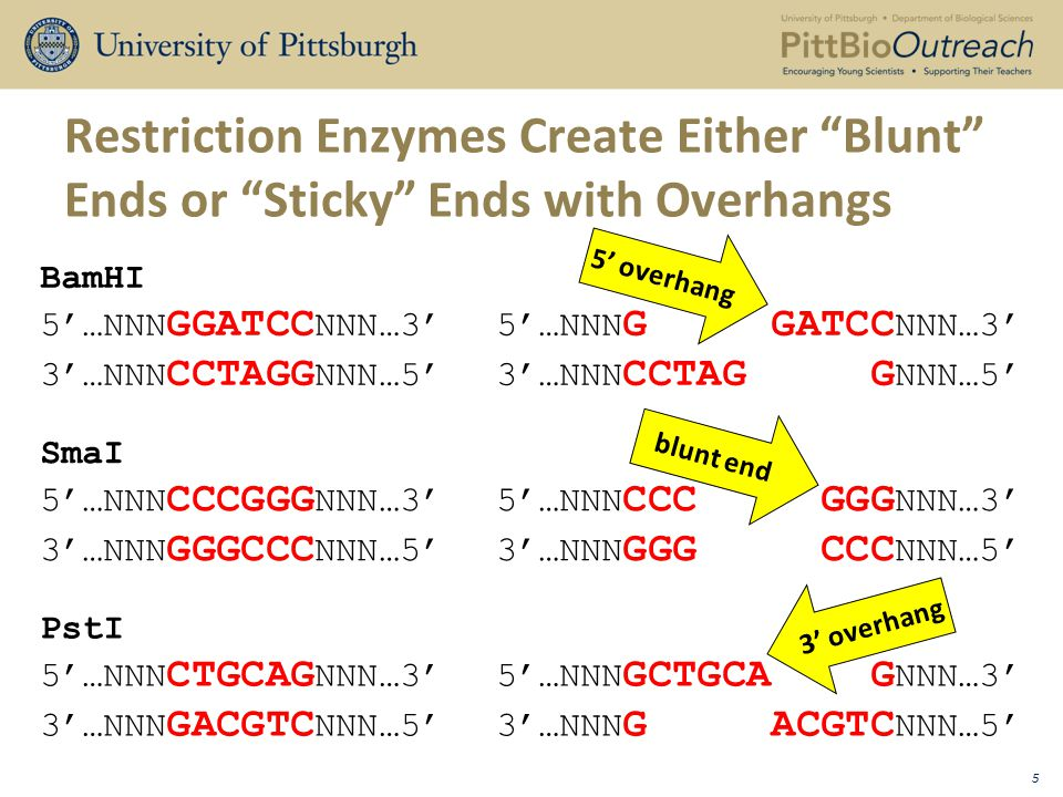 Ends Produced By The Same Enzyme Can Be Rejoined By Ligation 6 EcoRI 5'…AAA GAATTC AAA…3'5'…AAA G 3'…TTT CTTAAG TTT…5'3'…TTT CTTAA EcoRI 5'…CCC GAATTC CCC…3' AATTC CCC…3' 3'…GGG CTTAAG GGG…5' G GGG…5' After Ligation with DNA Ligase 5'…AAA GAATTC CCC…3' 3'…TTT CTTAAG GGG…5' Base Pairs Re-Form