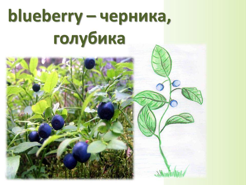 blueberry – черника, голубика