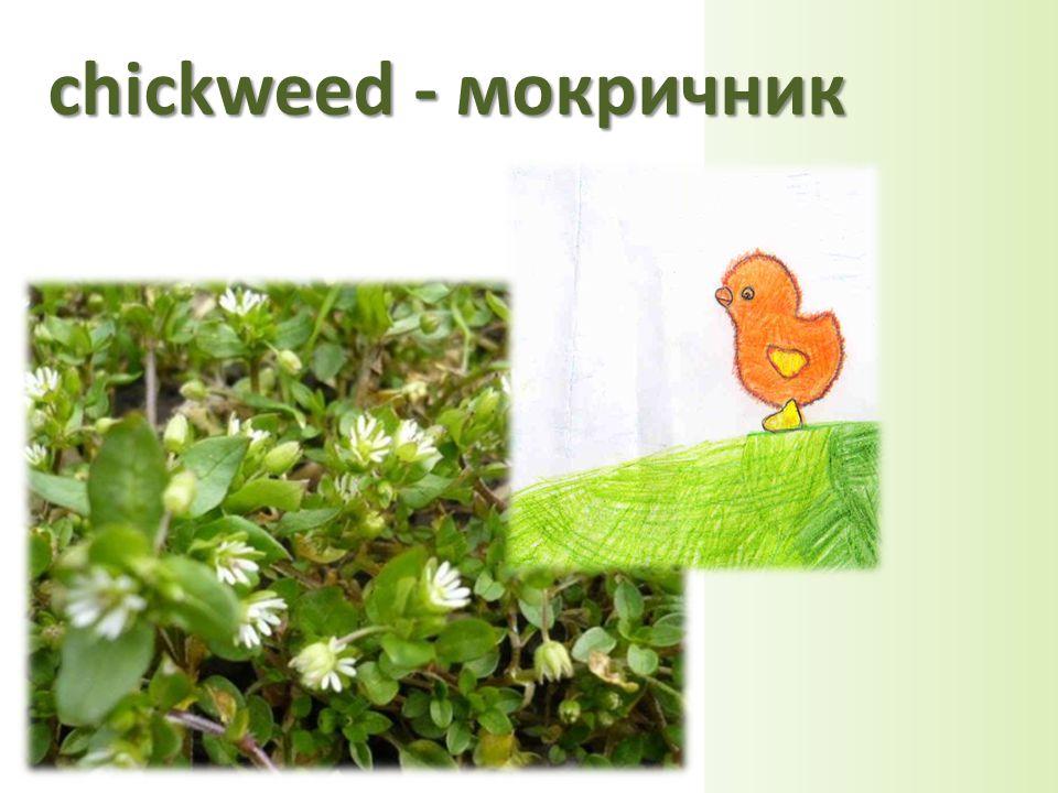 chickweed - мокричник