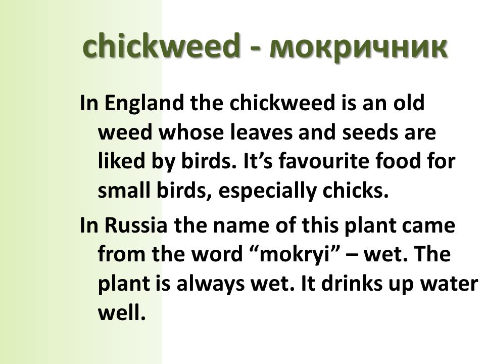 In England the chickweed is an old weed whose leaves and seeds are liked by birds.