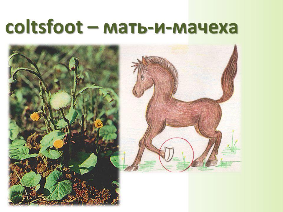 coltsfoot – мать-и-мачеха