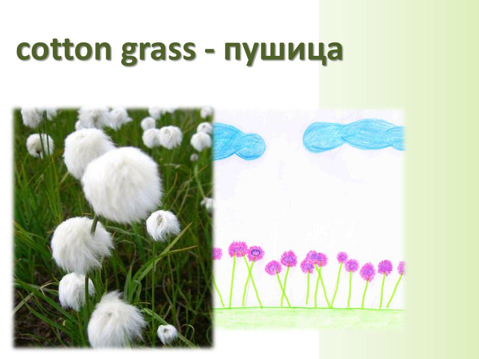cotton grass - пушица