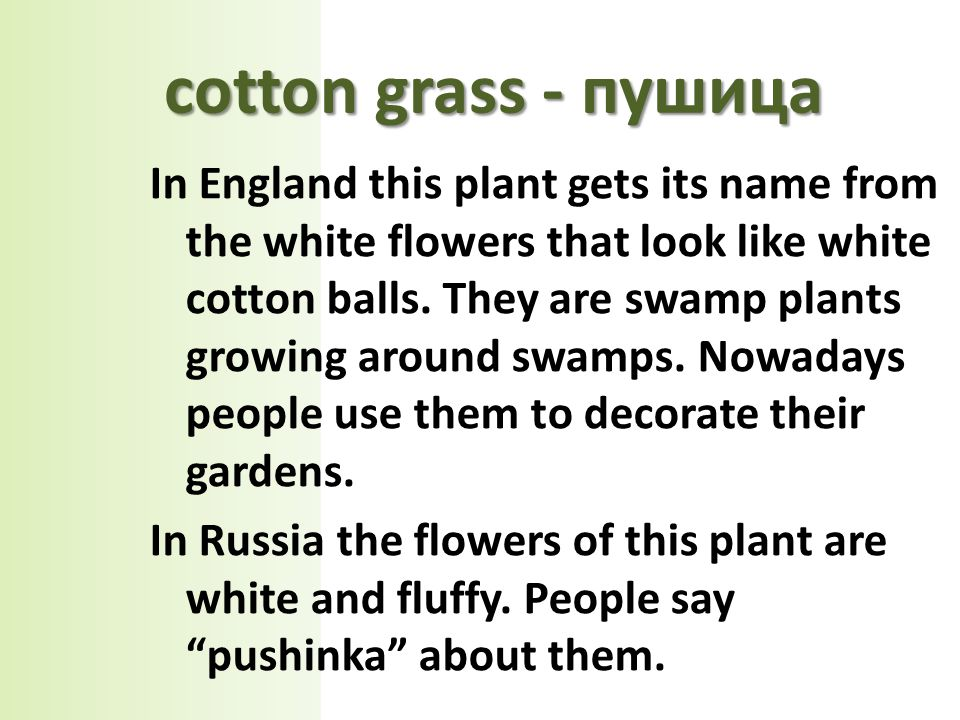 сotton grass - пушица In England this plant gets its name from the white flowers that look like white cotton balls.