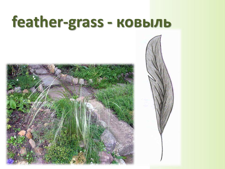 feather-grass - ковыль
