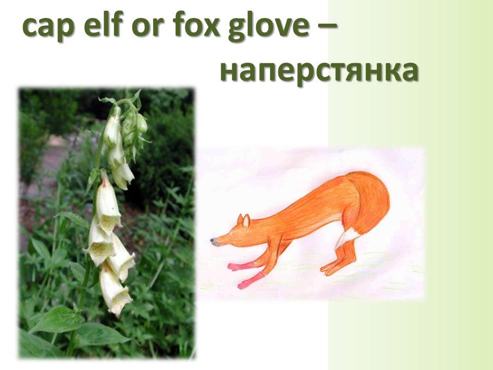 cap elf or fox glove – наперстянка