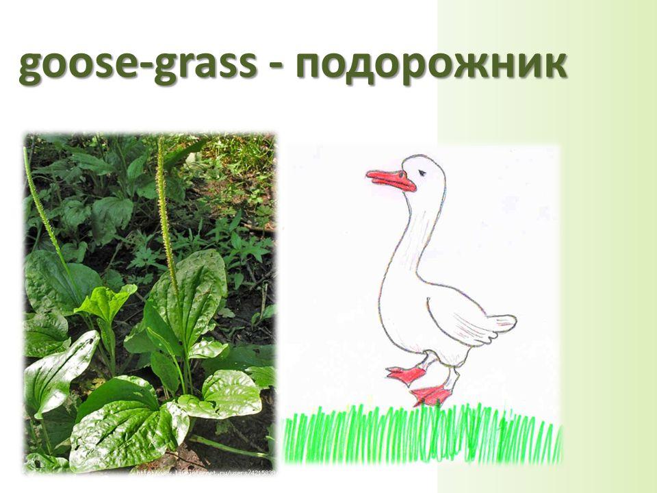 goose-grass - подорожник