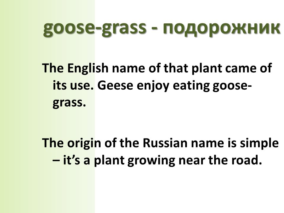 The English name of that plant came of its use. Geese enjoy eating goose- grass.
