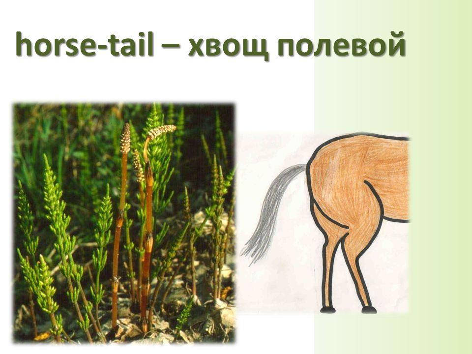 horse-tail – хвощ полевой