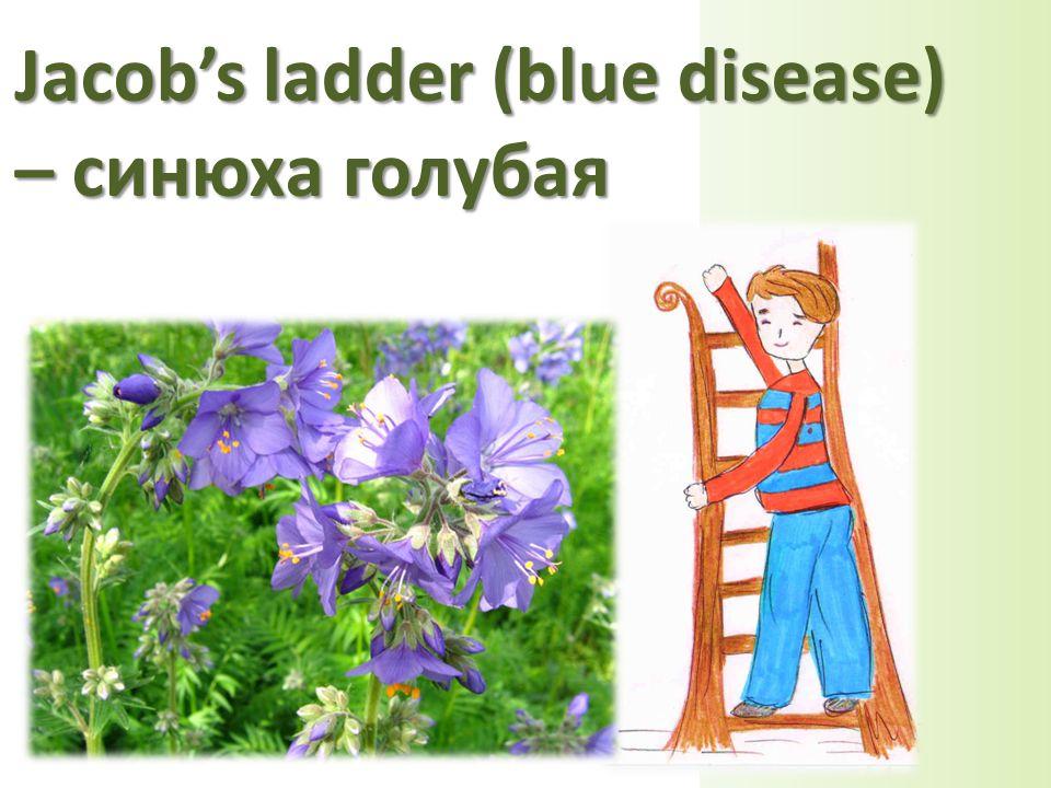 Jacob's ladder (blue disease) – синюха голубая