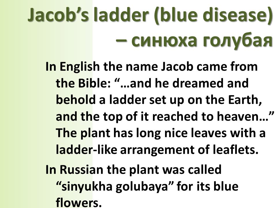 In English the name Jacob came from the Bible: …and he dreamed and behold a ladder set up on the Earth, and the top of it reached to heaven… The plant has long nice leaves with a ladder-like arrangement of leaflets.