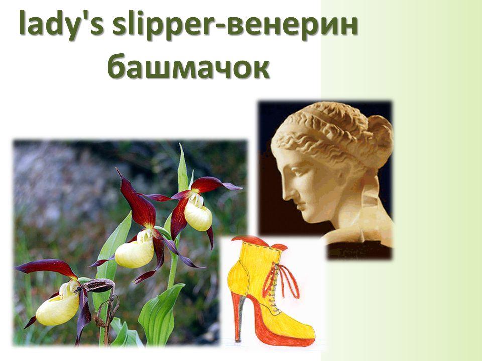 lady s slipper-венерин башмачок