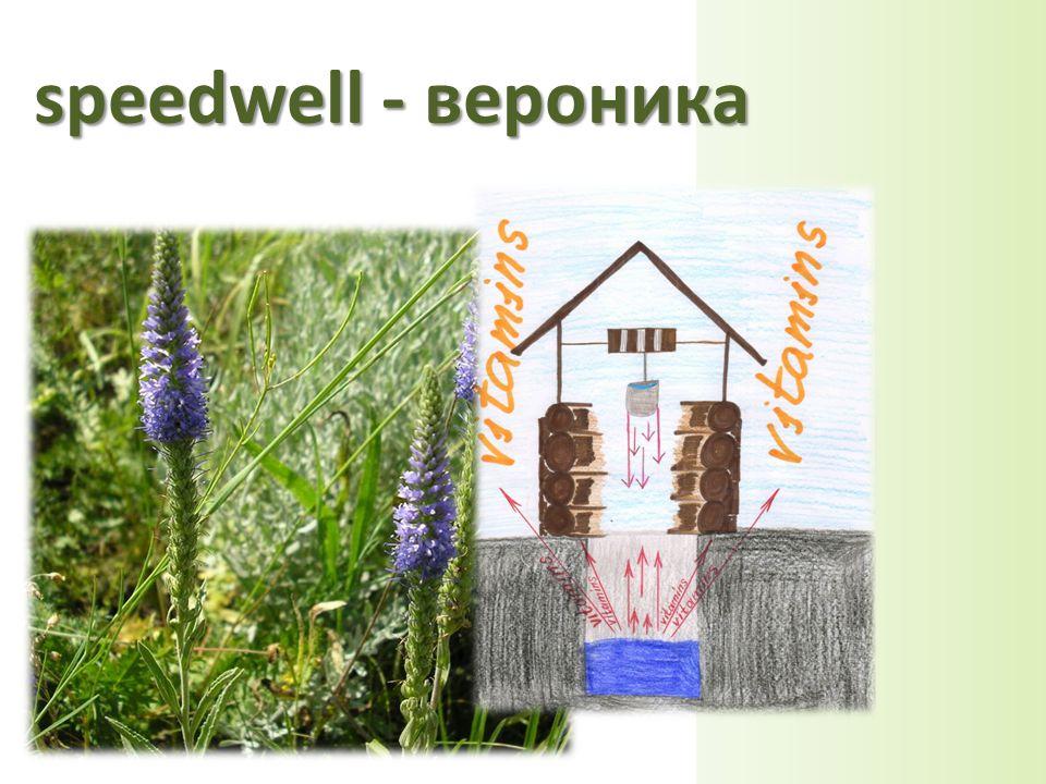speedwell - вероника