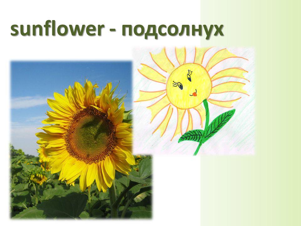 sunflower - подсолнух