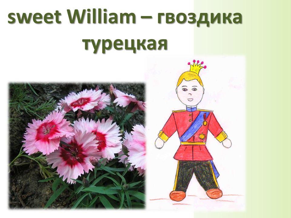 sweet William – гвоздика турецкая