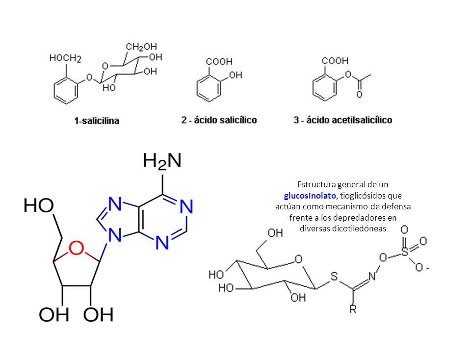 Estructura general de un glucosinolato, tioglicósidos que actúan como mecanismo de defensa frente a los depredadores en diversas dicotiledóneas