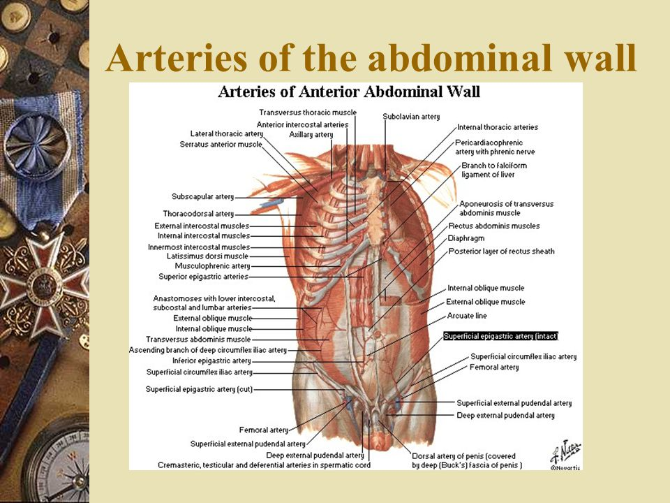 Arteries of the abdominal wall