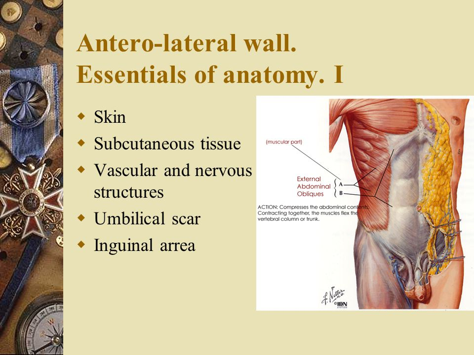 Antero-lateral wall. Essentials of anatomy. I  Skin  Subcutaneous tissue  Vascular and nervous structures  Umbilical scar  Inguinal arrea