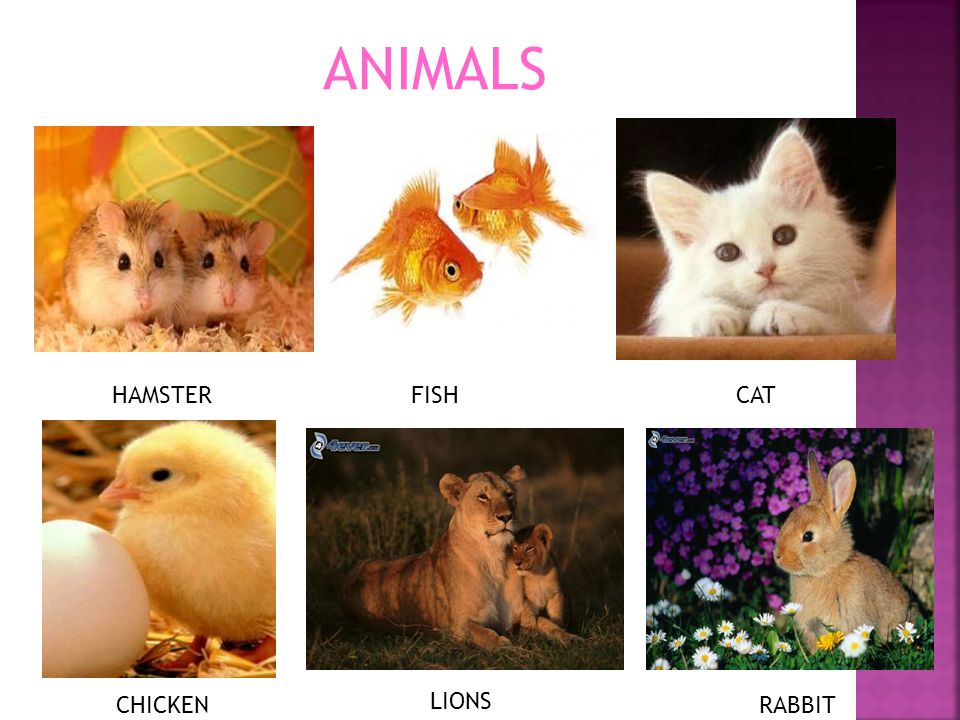 ANIMALS HAMSTERFISHCAT CHICKEN LIONS RABBIT