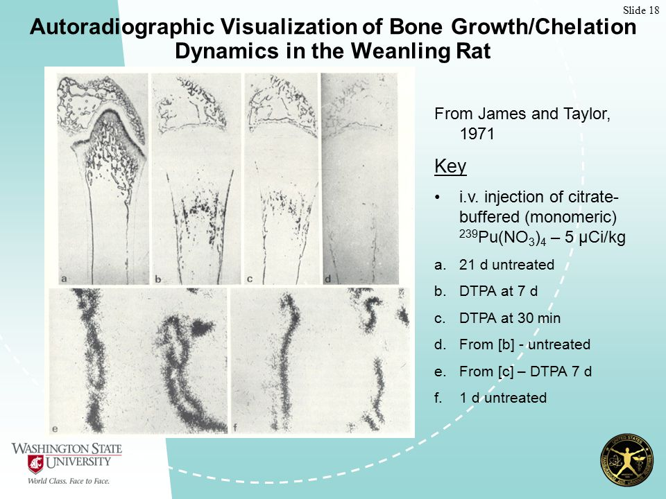 Slide 18 Autoradiographic Visualization of Bone Growth/Chelation Dynamics in the Weanling Rat From James and Taylor, 1971 Key i.v.