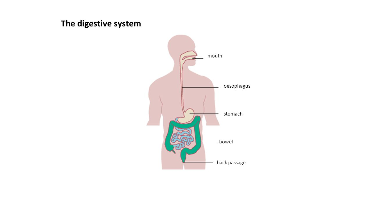 Rectum Sigmoid colon bowel stomach oesophagus back passage mouth The digestive system