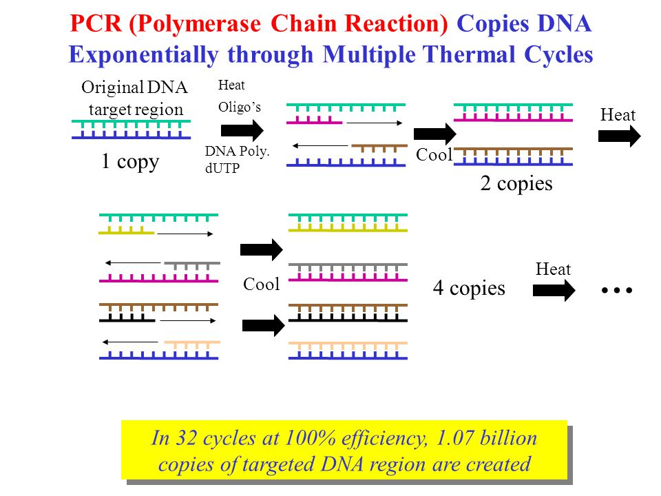 In 32 cycles at 100% efficiency, 1.07 billion copies of targeted DNA region are created PCR (Polymerase Chain Reaction) Copies DNA Exponentially through Multiple Thermal Cycles Original DNA target region Heat Cool Heat DNA Poly.