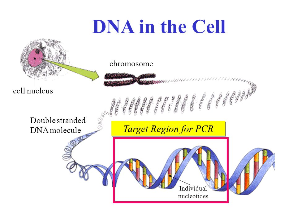 DNA in the Cell Target Region for PCR chromosome cell nucleus Double stranded DNA molecule Individual nucleotides
