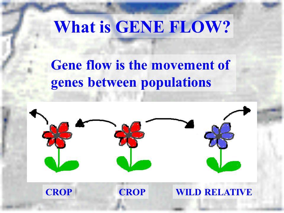 CROP WILD RELATIVE Gene flow is the movement of genes between populations What is GENE FLOW?