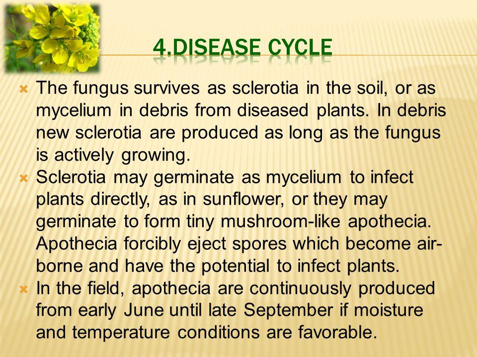  The fungus survives as sclerotia in the soil, or as mycelium in debris from diseased plants.
