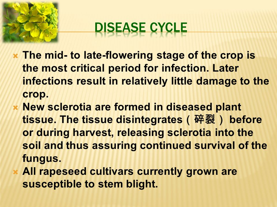  The mid- to late-flowering stage of the crop is the most critical period for infection. Later infections result in relatively little damage to the c