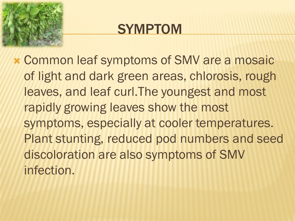 SYMPTOM  Common leaf symptoms of SMV are a mosaic of light and dark green areas, chlorosis, rough leaves, and leaf curl.The youngest and most rapidly growing leaves show the most symptoms, especially at cooler temperatures.