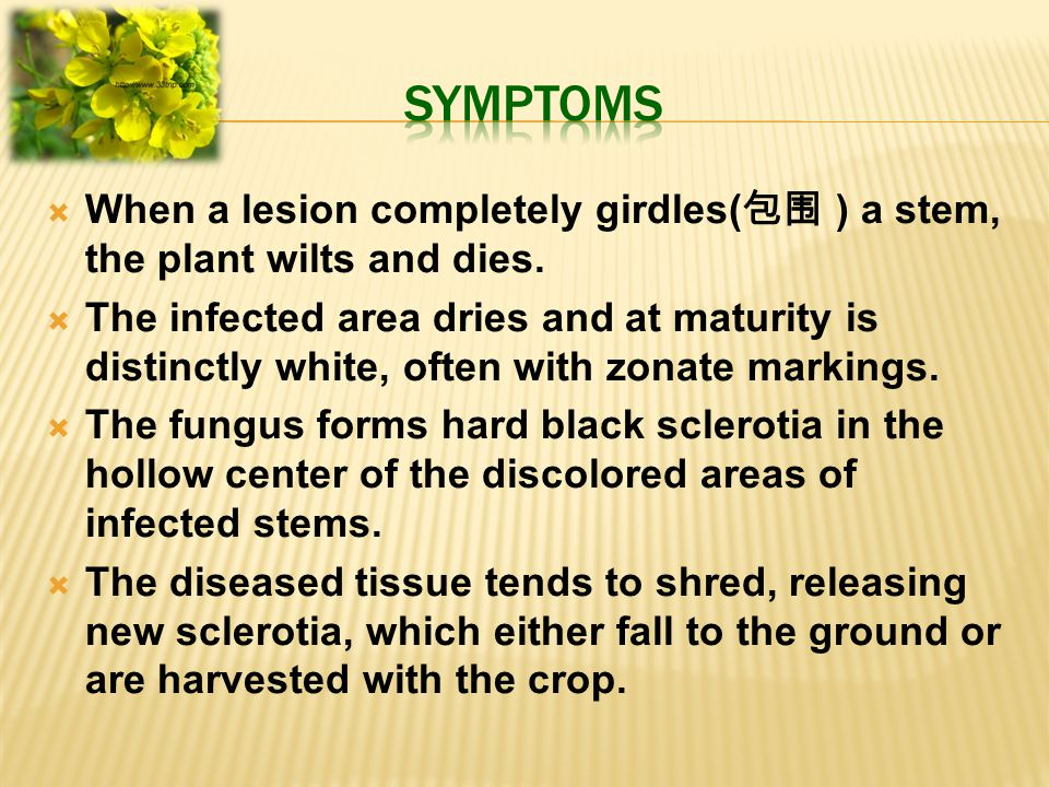  When a lesion completely girdles( 包围 ) a stem, the plant wilts and dies.  The infected area dries and at maturity is distinctly white, often with z