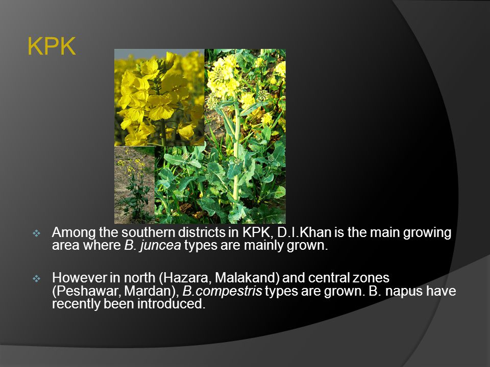 KPK  Among the southern districts in KPK, D.I.Khan is the main growing area where B. juncea types are mainly grown.  However in north (Hazara, Malak