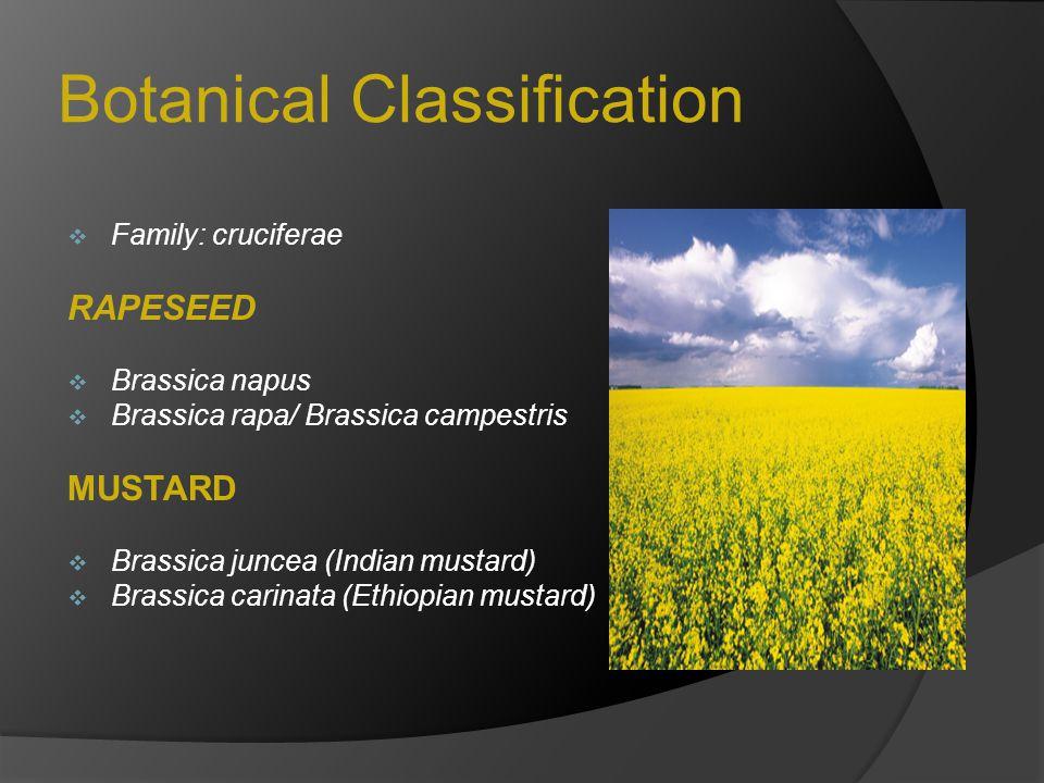 Botanical Classification  Family: cruciferae RAPESEED  Brassica napus  Brassica rapa/ Brassica campestris MUSTARD  Brassica juncea (Indian mustard