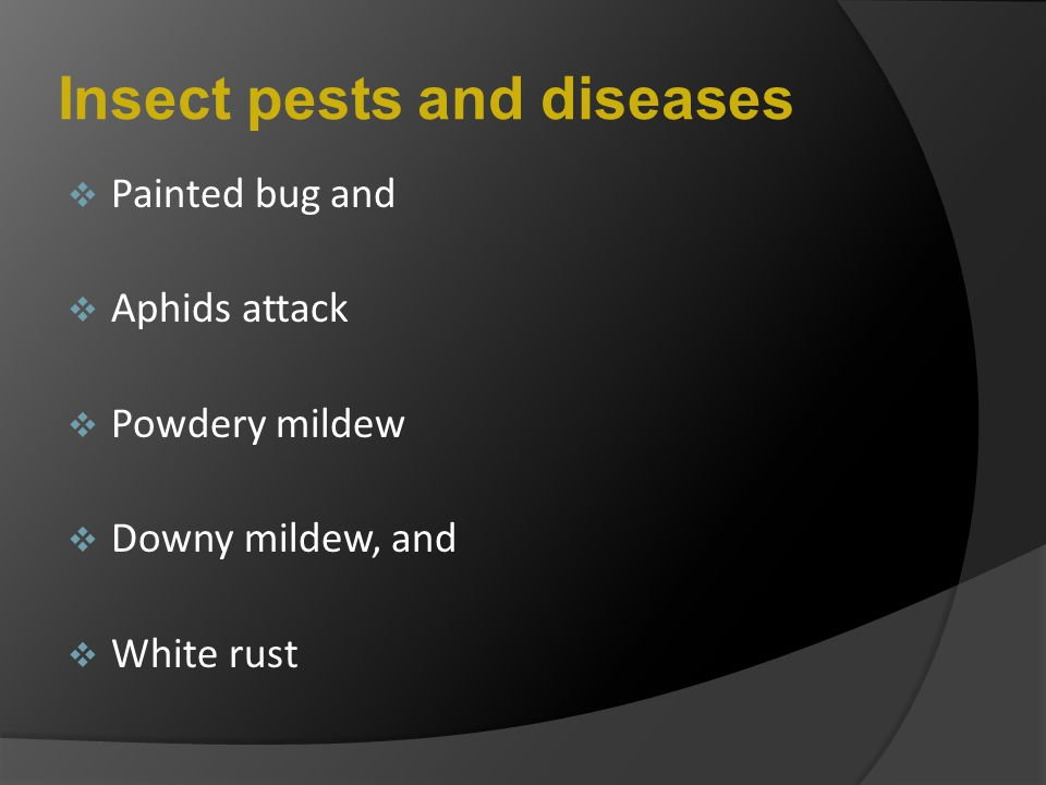 Insect pests and diseases  Painted bug and  Aphids attack  Powdery mildew  Downy mildew, and  White rust