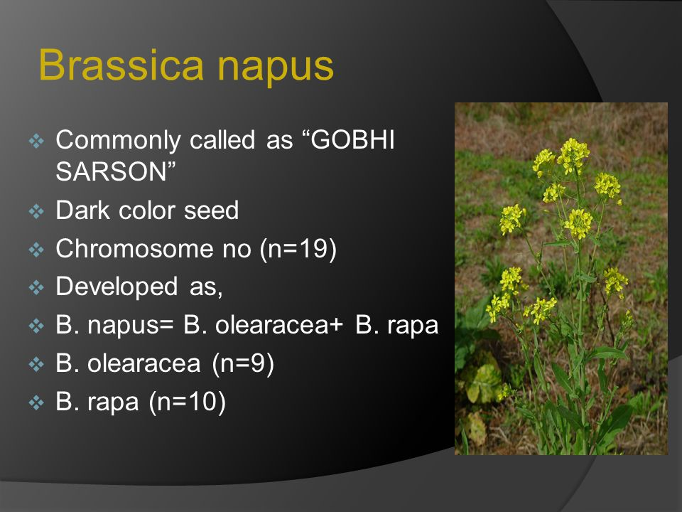 "Brassica napus  Commonly called as ""GOBHI SARSON""  Dark color seed  Chromosome no (n=19)  Developed as,  B. napus= B. olearacea+ B. rapa  B. ole"