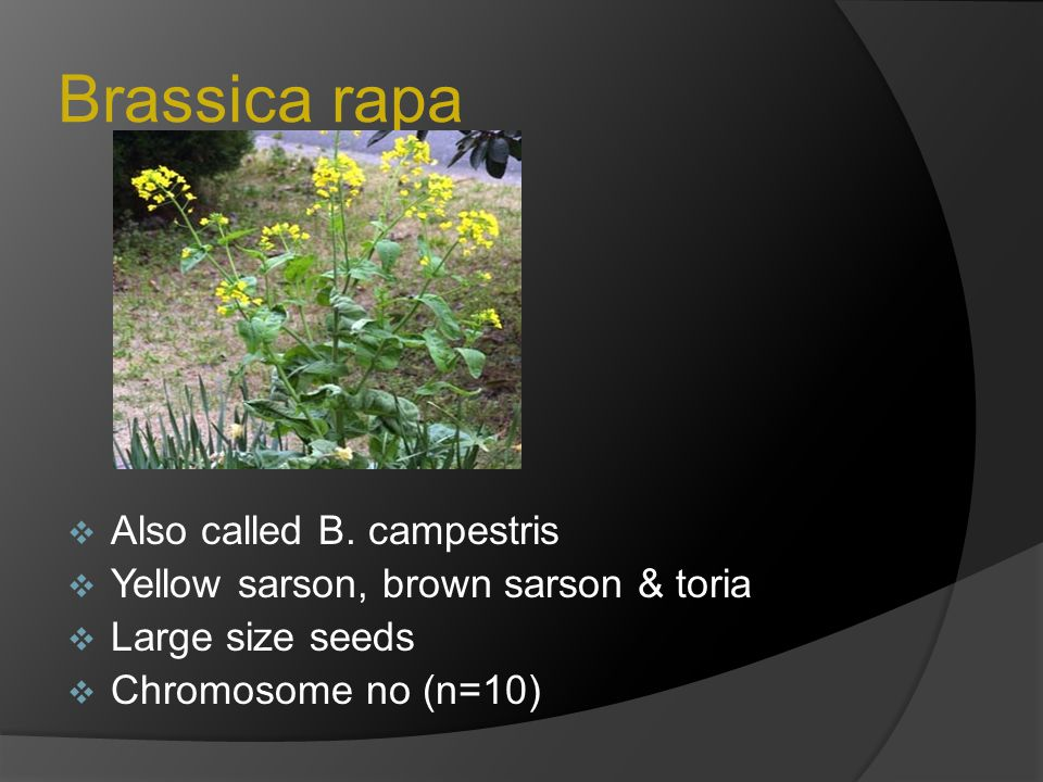 Brassica juncea  Indian mustard  Brown or yellow color seeds  Chromosome no (n=18)  Developed as,  B.