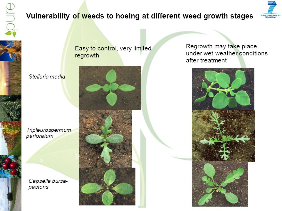 Vulnerability of weeds to hoeing at different weed growth stages Easy to control, very limited regrowth Regrowth may take place under wet weather conditions after treatment Stellaria media Tripleurospermum perforatum Capsella bursa- pastoris