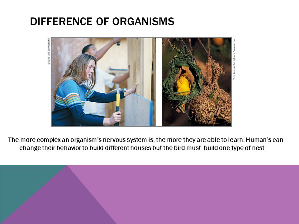 DIFFERENCE OF ORGANISMS The more complex an organism's nervous system is, the more they are able to learn. Human's can change their behavior to build