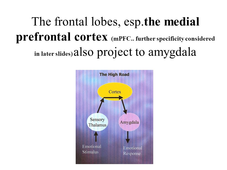 The frontal lobes, esp.the medial prefrontal cortex (mPFC..