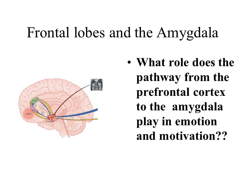 Frontal lobes and the Amygdala What role does the pathway from the prefrontal cortex to the amygdala play in emotion and motivation