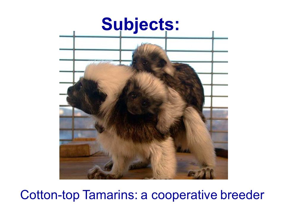 Cotton-top Tamarins: a cooperative breeder Subjects: